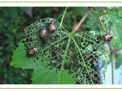 گیاهان دفع کننده حشرات در روف گاردن